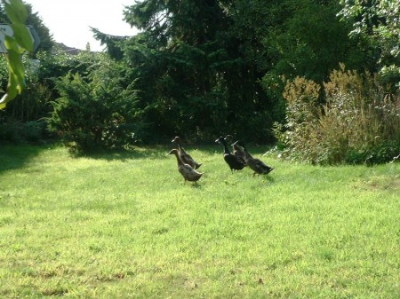 ducks3iv